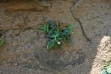 Pellaea glabella- (Smooth Cliffbrake)