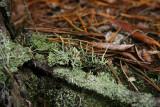 Cladonia coniocraea (Awl Lichen)