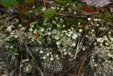 Cladonia chlorophaea- Pixie Cup