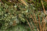 Cladonia peziziformis- Turban Lichen and Cladonia chlorophaea (Pixie Cup)