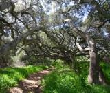 Los Osos Pygmy Oaks