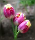Tulip Triplets