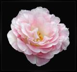 Rose so pink