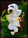 White Casablanca Lily Watercolor
