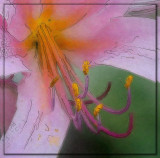 Lily Squamigera Watercolor