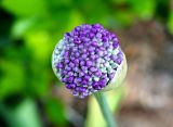Ornamental Onion