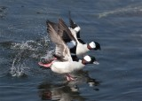 Bufflehead ducks...the get away