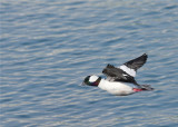 Bufflehead male