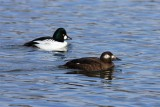 Common Goldeneye Male and Female