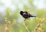 RED WING BLACK BIRD  MALE