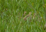 CHICKS IN THE GRASS