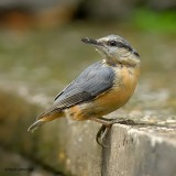 european nuthatch.... boomklever