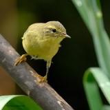 willow warbler.... fitis