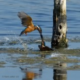 kingfisher.... ijsvogel
