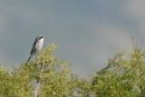 great grey shrike.... klapekster