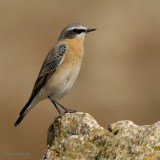 northern wheatear.... tapuit