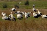 white stork.... ooievaar