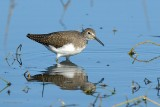 common sandpiper.... oeverloper