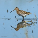 common snipe.... watersnip