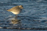 red knot.... kanoet