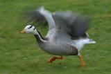 bar-headed goose.... indische gans