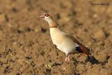 egyptian goose.... nijlgans