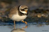 great ringed plover.... bontbekplevier