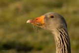 greylag goose.... grauwe gans