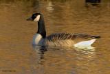 canada goose.... canadese gans