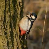 great spotted woodpecker.... grote bonte specht