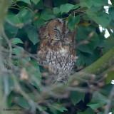 tawny owl.... bosuil