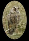 long-eared owl.... ransuil