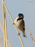 reed bunting.... rietgors