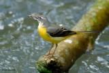 yellow wagtail.... gele kwikstaart