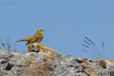 yellowhammer.... geelgors