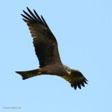 black kite.... zwarte wouw