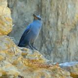 blue rock thrush.... blauwe rotslijster