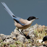 azure-winged magpie.... blauwe ekster