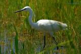 little egret.... kleine zilverreiger