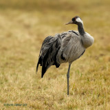 common crane.... kraanvogel