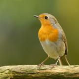 robin.... roodborst