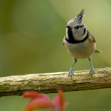 crested tit.... kuifmees