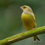 greenfinch.... groenling