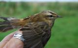 Sedge Warbler ( Sävsångare )