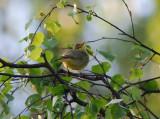 Melodious Warbler ( Polyglottsångare )