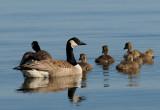 Canada Goose (Kanadagås )