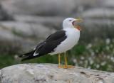 Herring gull (Silltrut )