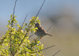 Song sparrow (Sångsparv )