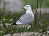 Common gull (Fiskmås )