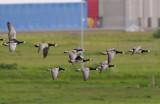 Barnacle Goose (Vitkindad gås )